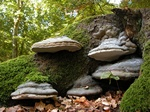 Hoof Fungus (Fomes fomentarius)